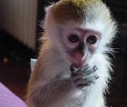 Милый ребенок капуцин обезьян