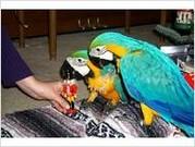 синий и золотой попугаев ара.