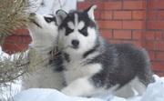 Мужские и женские Сибирский хаски щенки