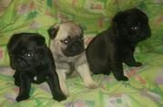 3 мопса щенки!
