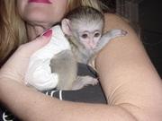 Капуцинов обезьяна  l