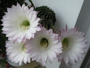 комнатные растнения кактусы и лилейные цветы