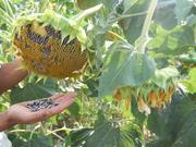 семечки сорта Жалалабад (большие,  черные с белой полоской).